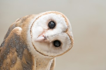 Owl - You Still There?