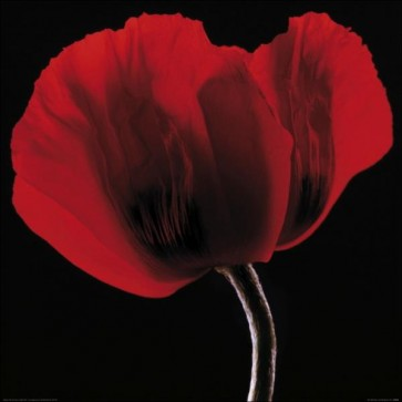 Ian Winstanley - Rich Red Poppy