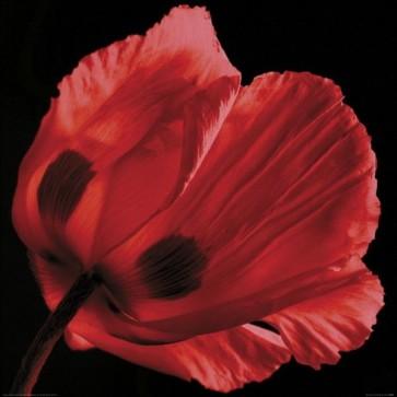Ian Winstanley - Red Poppy