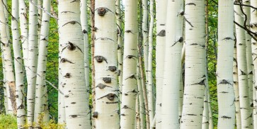 Idan Myrddin - Aspen Trunks In Fall