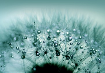 Torhild Adrijana - Water Drops on Dandelion