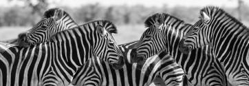Rogelio Tybalt - Zebra Herd