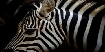 Rogelio Tybalt - Zebra in Sepia