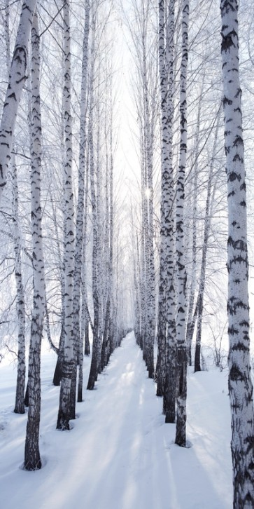 Neela Park - Birch trunks in Winter