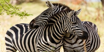 Rogelio Tybalt - Zebra Couple