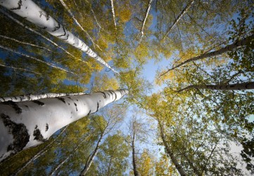 Idan Myrddin - Birch Forest, Sky View