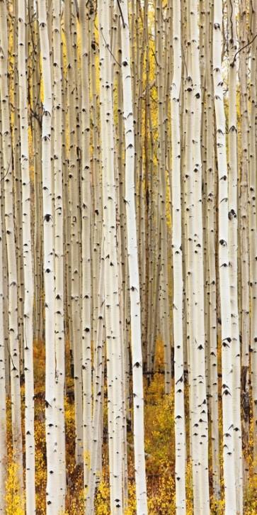 Idan Myrddin - Birch Trunks
