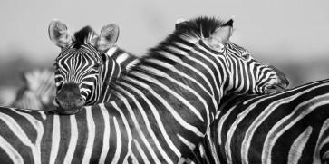 Rogelio Tybalt - Zebra Unity