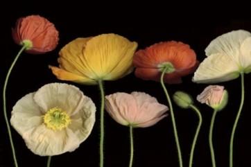 Pip Bloomfield - Poppy Garden I