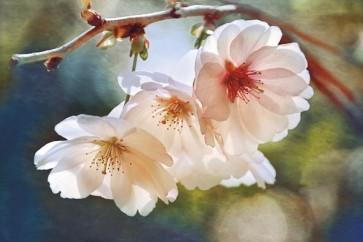 Leda Robertson - Cherry Blossom I