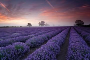 Lavender Field Dawn