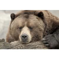 Bear - Confession