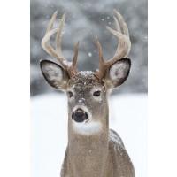 Deer - Snowstorm