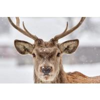 Deer - Soft Snowstorm