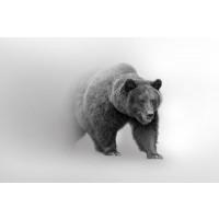 Foggy Wildlife - Bear