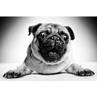 Dog - Pug - Easy Life