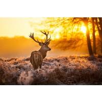 Caribou - Deer Sunset