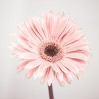Assaf Frank - Gerbera Flower - FTBR-1926
