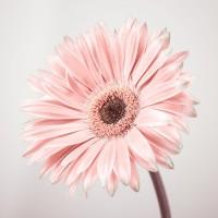 Assaf Frank - Gerbera Flower - FTBR-1927