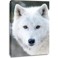 Arctic Wolf - Snowy Gaze