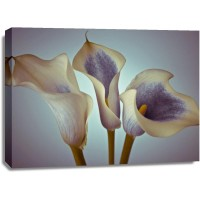 Assaf Frank - Close-up of three white Calla Lilies, Studio Shot