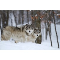 Carina Siegbert - Timber Wolves In Winter