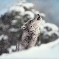 Danita Delimont - Wolf - Winter Howl