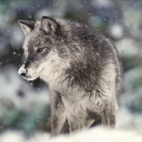 Danita Delimont - Wolf - Winter Watch
