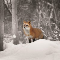 Danita Delimont - Fox - Snowy Sentinel