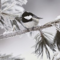 Danita Delimont - Bird - Snow Black-Capped Chickadee - Frosty Perch