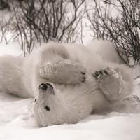 Danita Delimont - Hudson Bay Bear