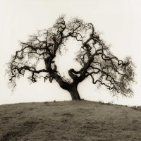 Alan Blaustein - Hillside Oak