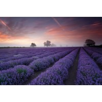Lavender Field Dawn