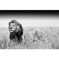 Kings Of Nature - Lion