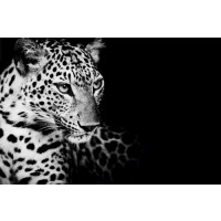 Kings Of Nature - Leopard