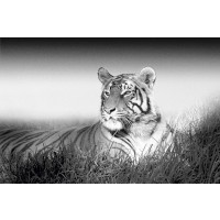 Kings Of Nature - Tiger