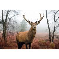 Deer - Hirsch Im Wald