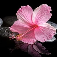 Blooming Pink Hibiscus On Zen Stones