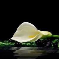 Beautiful White Calla Lily