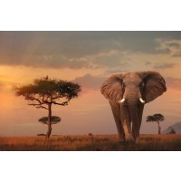 Elephant - Savanna