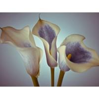 Assaf Frank - Close-up of three white Calla Lilies, Studio Shot