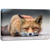 Fox - Nap time
