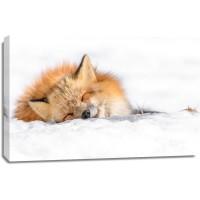 Fox - Nap time II