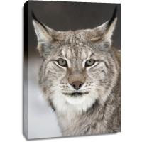 Lynx - Cold Feline