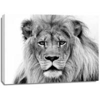 William Franklin - Male Lion