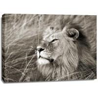 Frank Krahmer - African Lion, Masai Mara, Kenya