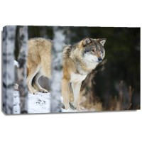 Carina Siegbert - Wolf Standing In The Snow